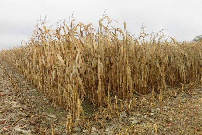 Mulczowanie, czyszczenie działek, krzaki , kukurydza itp