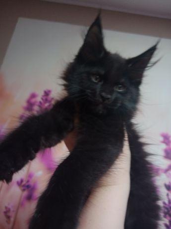 Maine Coon koteczka ,linia dużych kotów