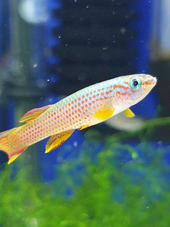 Proporczykowiec Gardnera, ryba 5-6cm, Sklep AKWAREKS KRK
