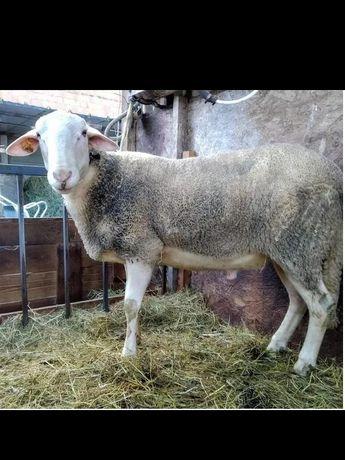 Baran, tryk Lacaune, dwuletni, ze stada mlecznego