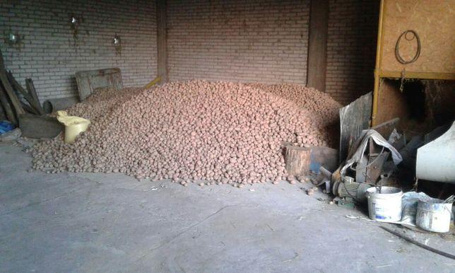 Ziemniaki irga bez nawozów