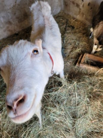 Likwidacja stada kozy na sprzedaż