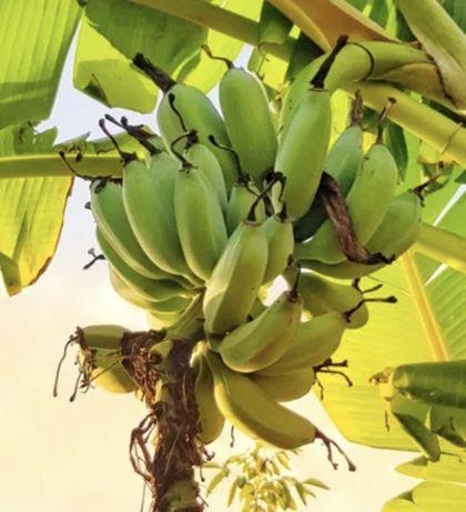 Bananeira da Madeira 50cm