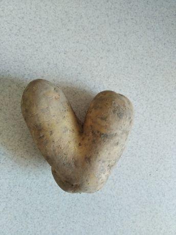 Ziemniak kartofel pyra w kształcie serca. Oryginalny prezent