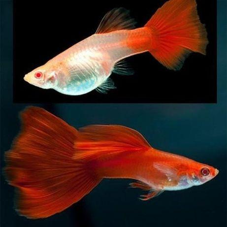 Trio de guppys full red albino