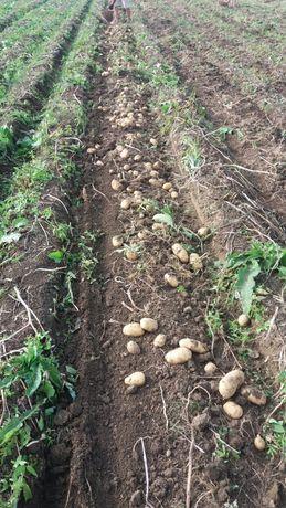 Продам домашню картоплю