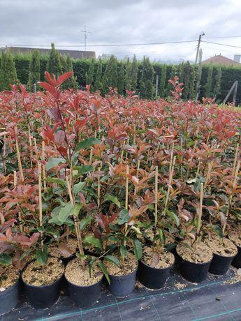 Photinia Red Robin v9cm / 1L / 2L
