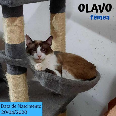 Gato Para Adoção (Olavo)