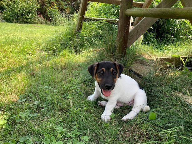 Jack Russell Terrier rodzice FCI