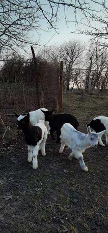 Козочки -4 місяці молочної кози  Васильківський р-н