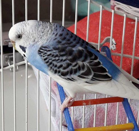 Волнисьые попугаи
