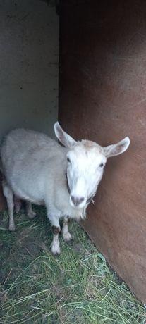Продам коз моло́чных