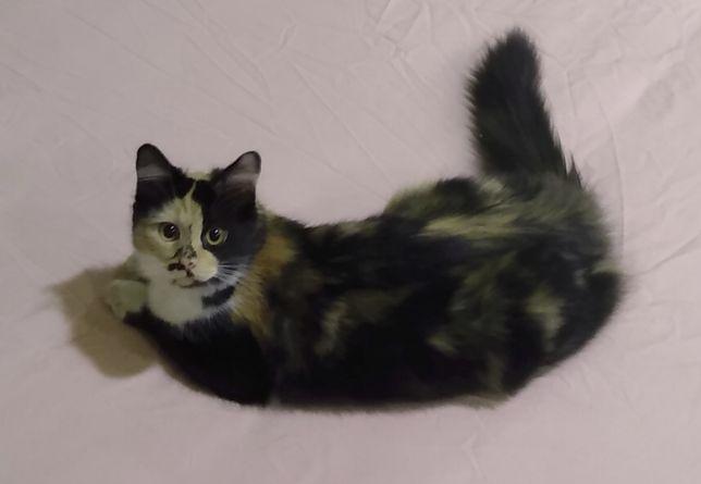 Zaginęłą kotka Zuzia, tricolor, Nagroda 2000zł!