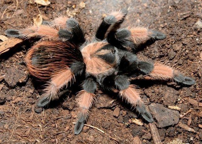 Самка паука птицееда Brachypelma emilia