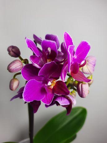 PURPLE PRINCESS мультифлора орхидея фаленопсис (бесплатная доставка)