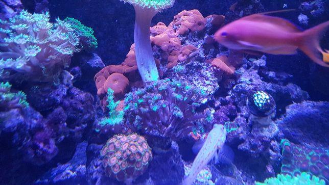 Sprzedam czerwoną discosomę ultra red fluo morskie korale.