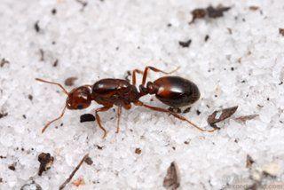 Solenopsis invicta Kolonia Mrówek do Hodowli w Formikarium