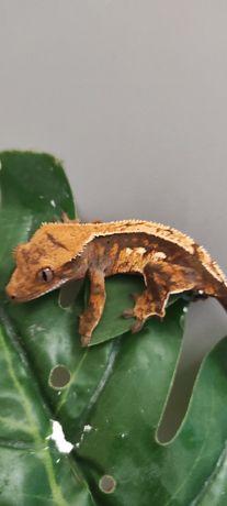 Gekon orzęsiony crested gecko