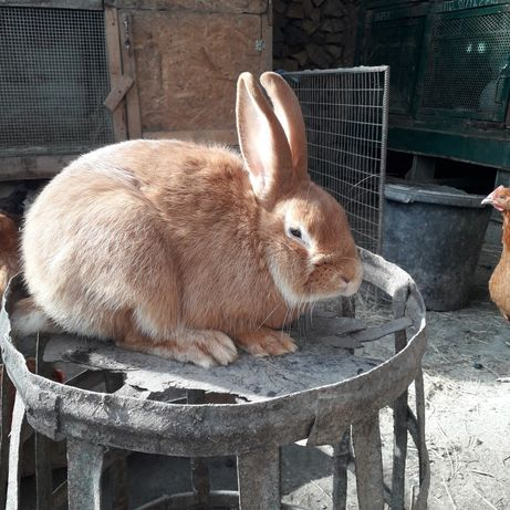 Кролики порода бургунці