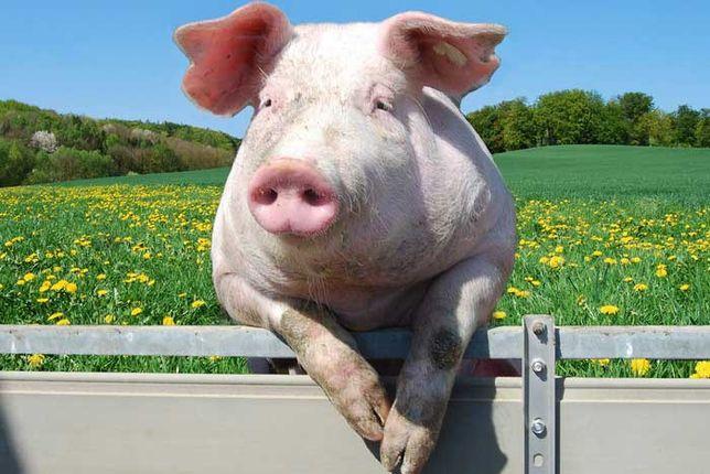 Продам домашних свиней
