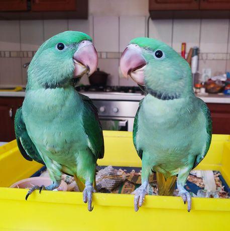 Продам выкормышей Александрийских попугаев