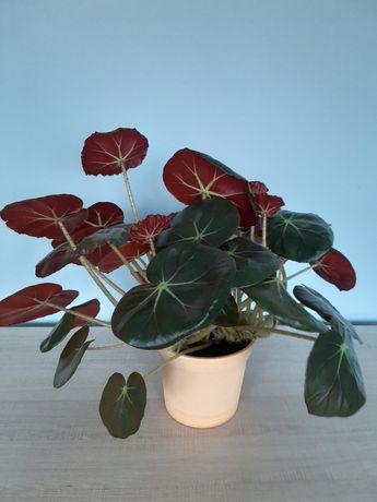 Begonia RedRuby czerwonolistna