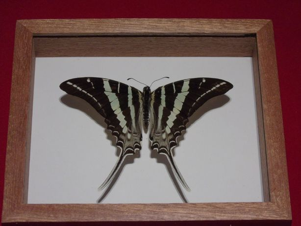 Motyl w ramce 14x12cm.Graphium rhesus 95 mm.