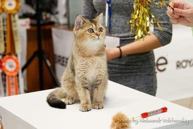 В'ЯЗКА золотий шотландський кіт