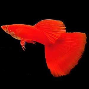 Gupik samiec FULL RED od 20 sztuk po 5zl elblag