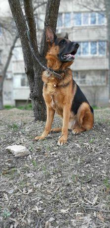 Продам срочно щенка немецкой овчарки