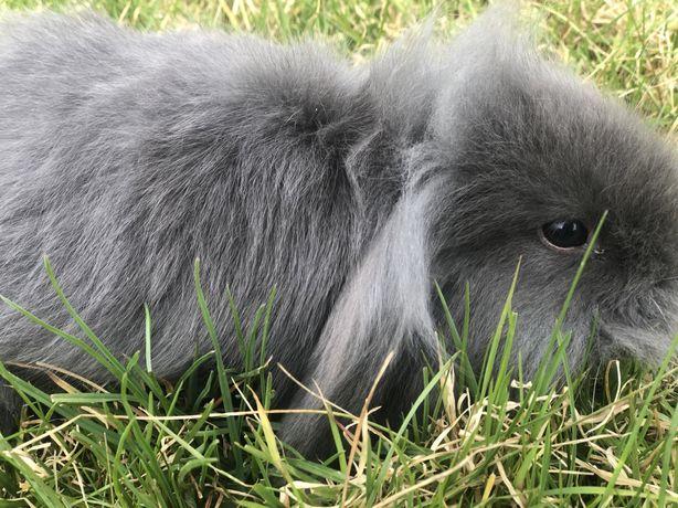 декоративний кролик Мини Лоп , тип Тедді, хлопчик голубого окрасу
