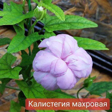 Лианы Калистегия Плющ Пассифлора Виноград триостренный