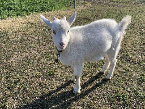 Продается молодая коза