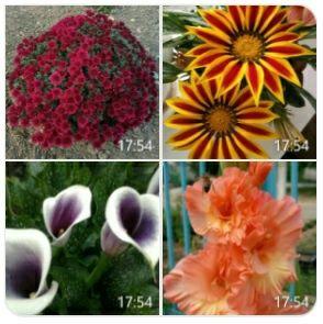 Каллы, хризантемы, лилия,  гладиолусы, газания, птицемлечни