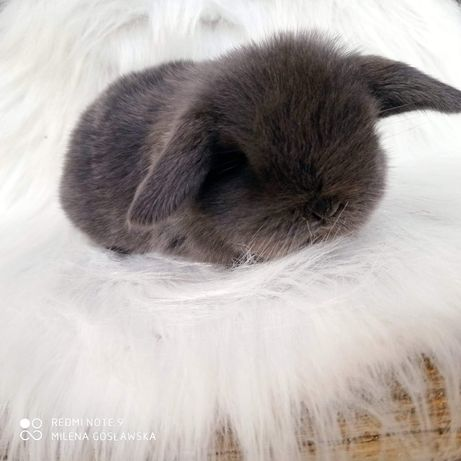 Króliczek mini lop, królik miniaturka, baranek