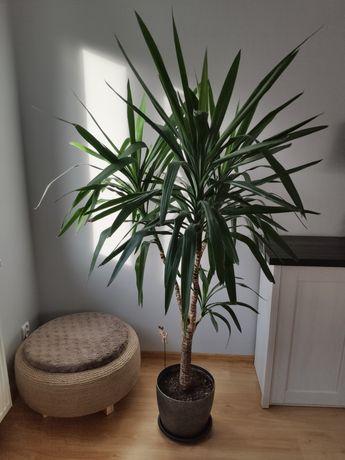 Yucca / Yuka / Yuca / Juka - Piękna Duża Roślina Doniczkowa - 190cm