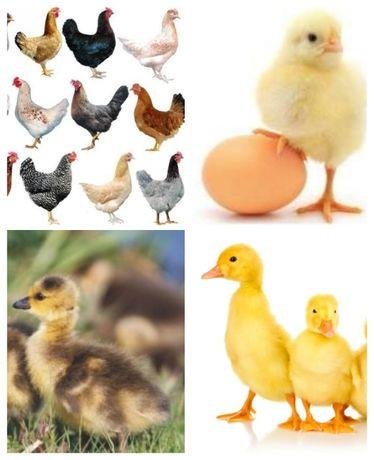 Кури, курчата, каченята, гусенята, комбікорм!!!