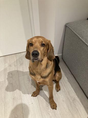 Znaleziono psa Gdynia Karwiny