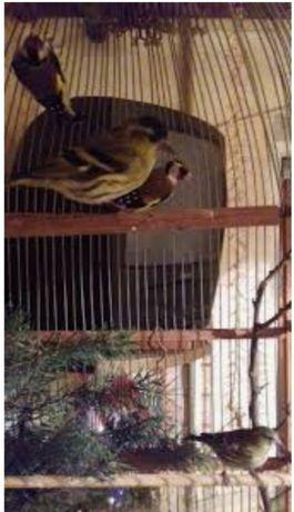 Чижик певчая птичка, компаньон для другой любой птицы