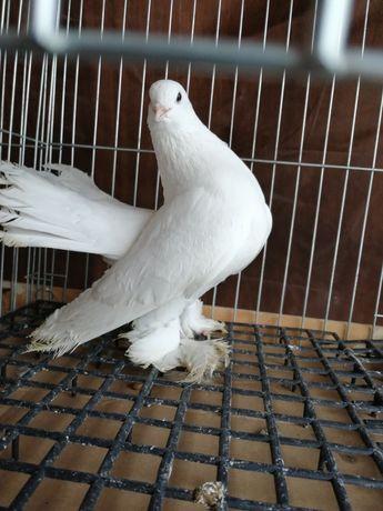Gołębie ozdobne syberyjskie