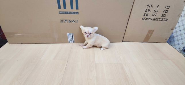 Chihuahua miniatura de pelo comprido criado em ambiente familiar