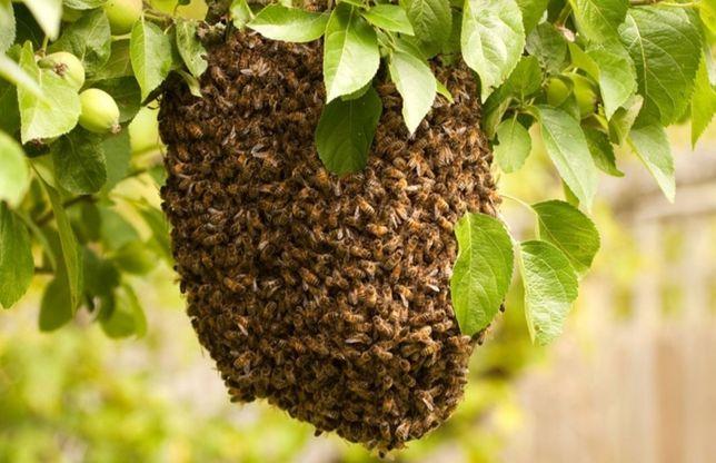 Rój pszczół. Zadzwoń