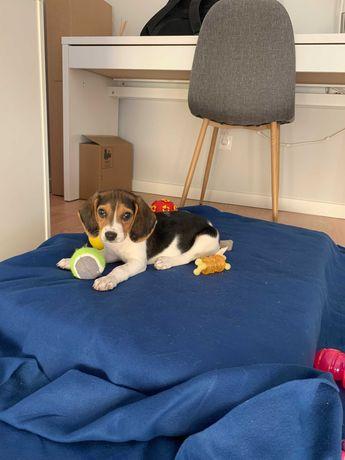 Beagle Tricolor Femea