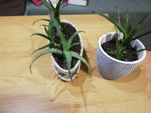 Aloes sadzonka sprzedam