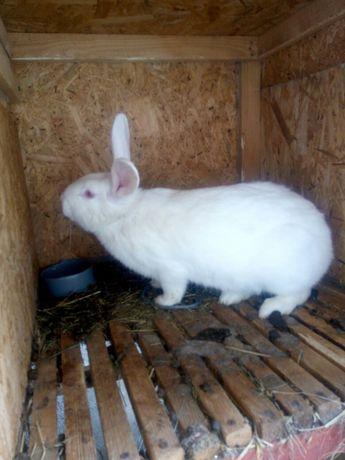 Кролики билий панон