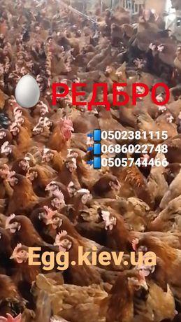 РЕДБРО яйця інкубаційні