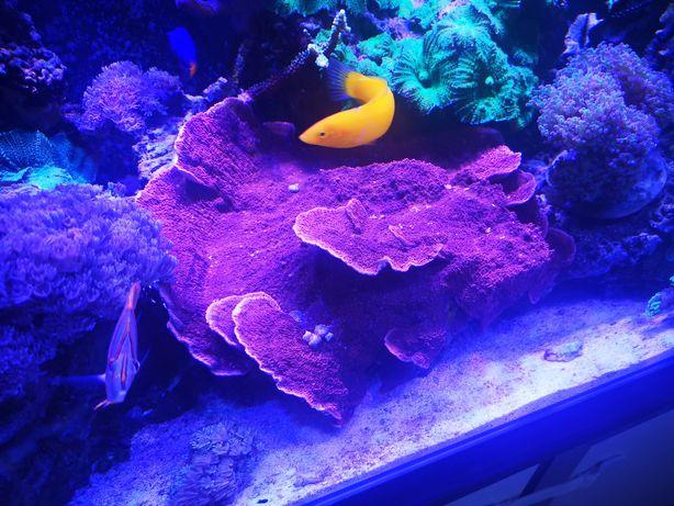 Montipora talerzowa, akwarium morskie, szczepki