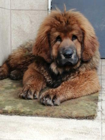 Mastif Tybetański - Piesek