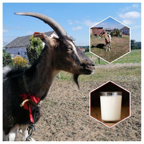 Mleko kozie świeże