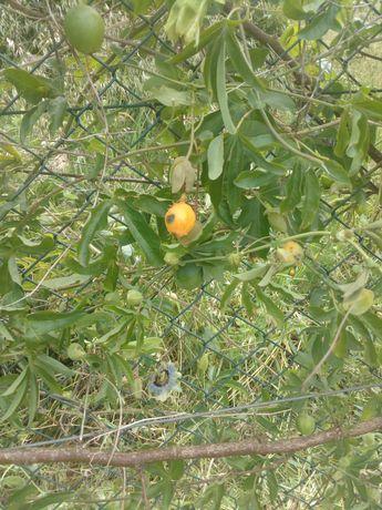 Maracuja laranja a dar fruto